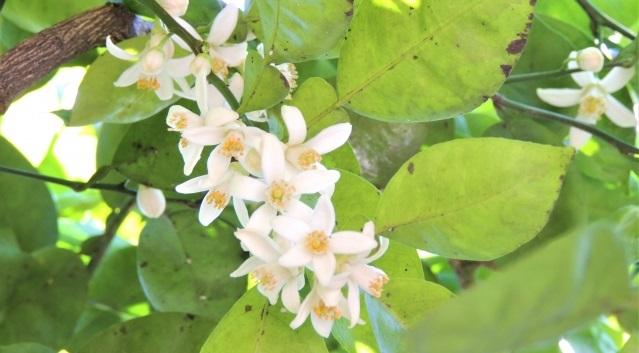 カボスの花2