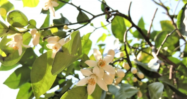 カボスの花3