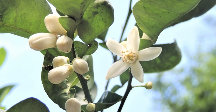 カボスの花