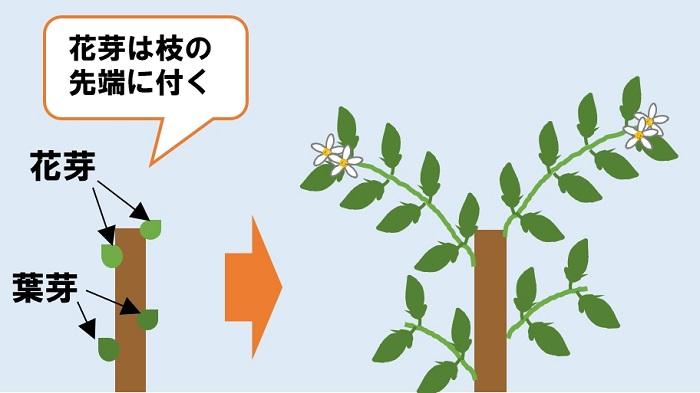 カボスの花芽が付く位置
